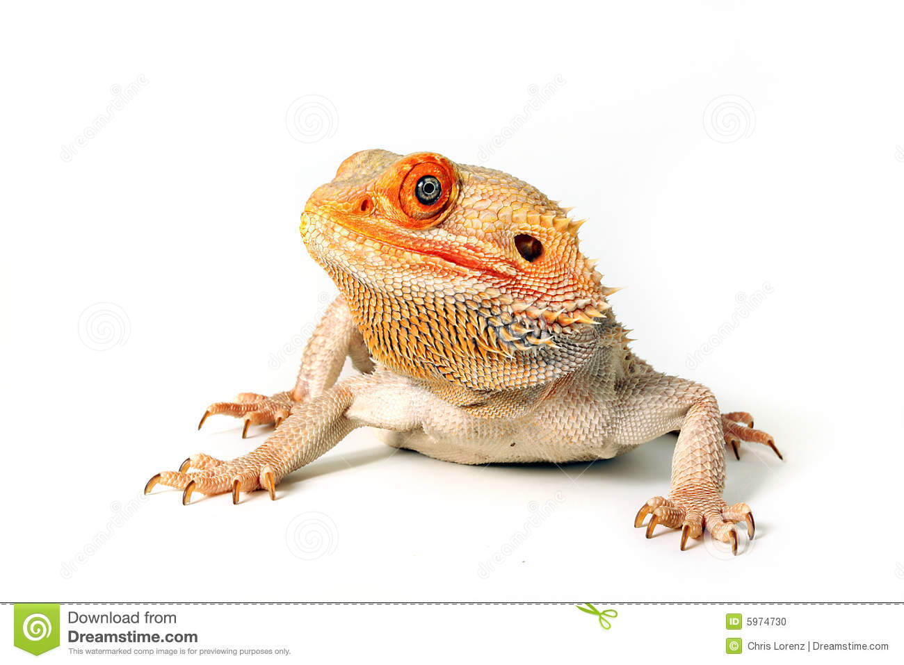 Bearded Dragon clipart colorful Free Top Image Bearded Dragon