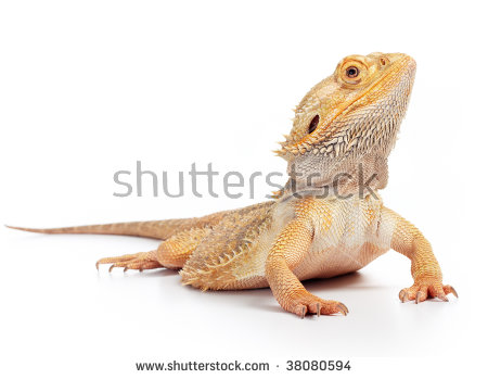 Bearded Dragon clipart head Download Dragon clipart drawings Bearded