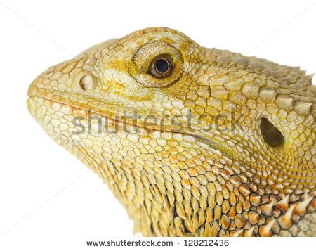Bearded Dragon clipart head Clipart #78 clip clip bearded
