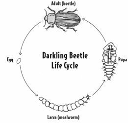 Beatle clipart mealworm On http://www Pinterest uen org/Lessonplan/preview?
