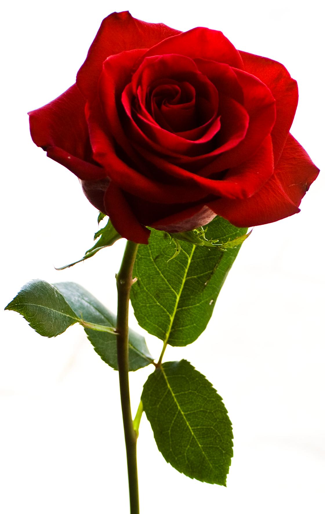 Petal clipart rose stem Clip Rose Pinterest Art Red