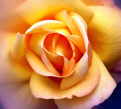 Beautiful clipart yellow rose Wallpapers Beautiful Yellow Rose wallpaper