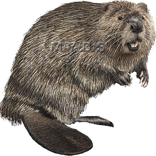 Beaver clipart canadian animal Beaver clip American (Free clipart