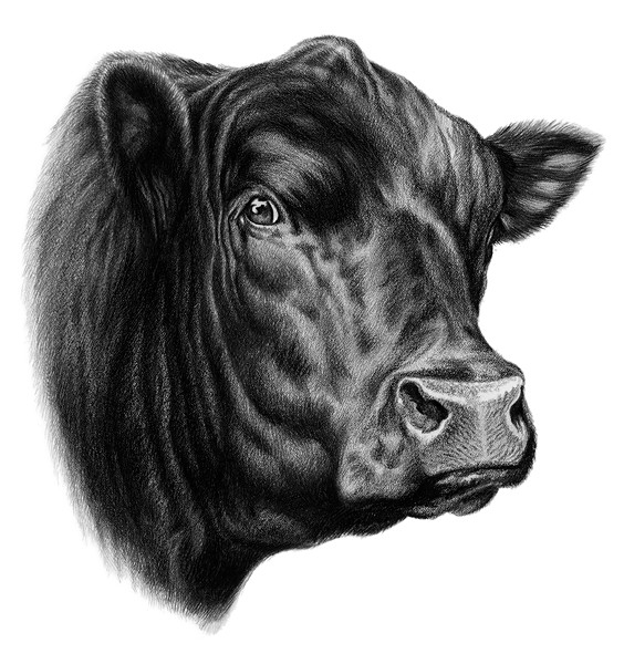 Beef clipart angus cow Cliparts The cattle Cattle clipart
