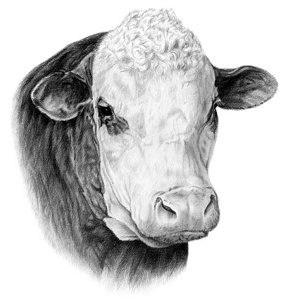 Beef clipart hereford cow Pencil Polled Cattle Beef Drawings