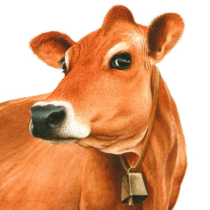 Beef clipart jersey cow Clipart on Kid images about