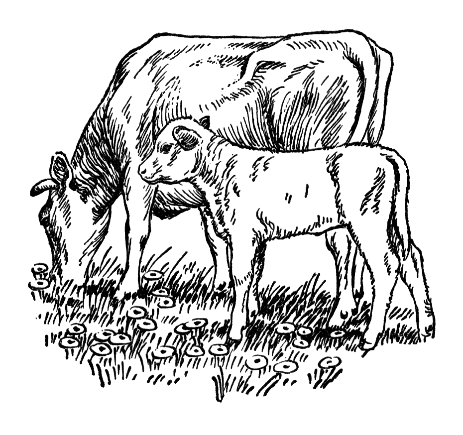 Beef clipart vintage : Vintage of cow