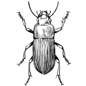 Beetle clipart bettle On Free  Beetles Ground
