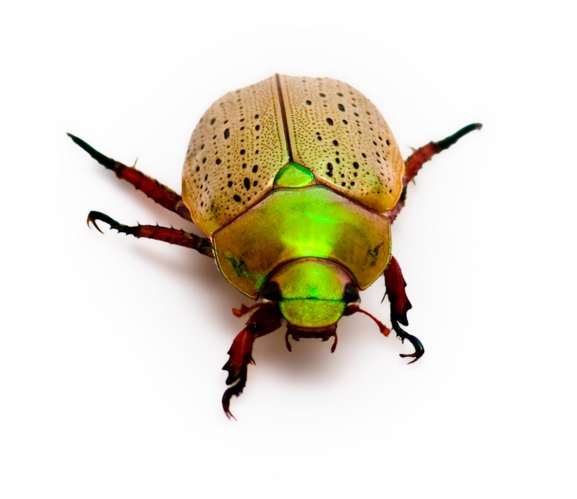 Beetle clipart christmas A A feels Zoology never
