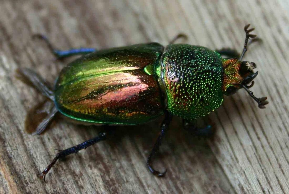 Beatle clipart christmas Christmas com clipartsgram beetle Beetle