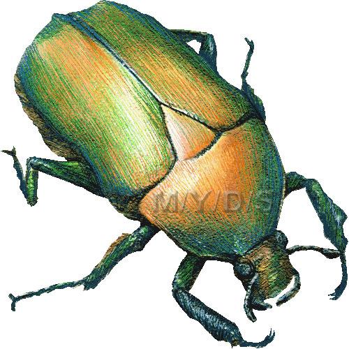 Beetle clipart scarab beetle Beetle Large picture Beetle clip