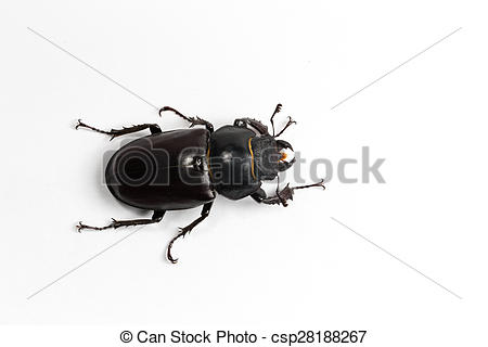Beatle clipart staghorn Bug Stock red lady list