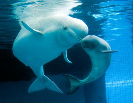Beluga Whale clipart baby beluga Critters Animal  Pinterest Cute