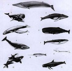 Beluga Whale clipart gray whale Blue Minke Minke Blue 4