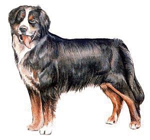 Bernese Mountain Dog clipart #8