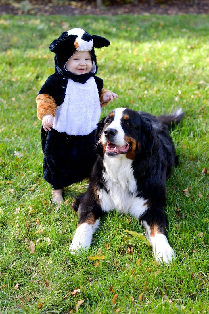 Bernese Mountain Dog clipart sheepdog Dogs 25+ Puppies costume costumes