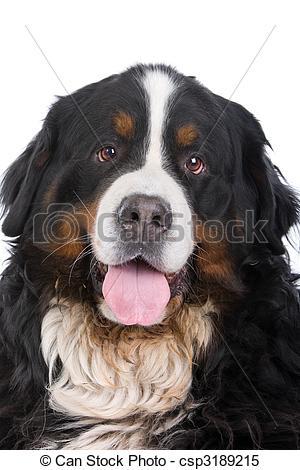 Bernese Mountain Dog clipart head Head mountain dog Images Berner