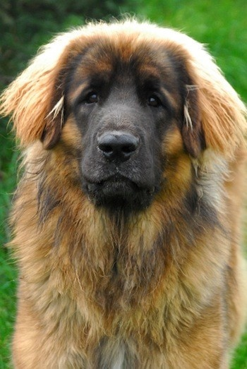 Bernese Mountain Dog clipart newfoundland Leonberger 125 Leonberger best images