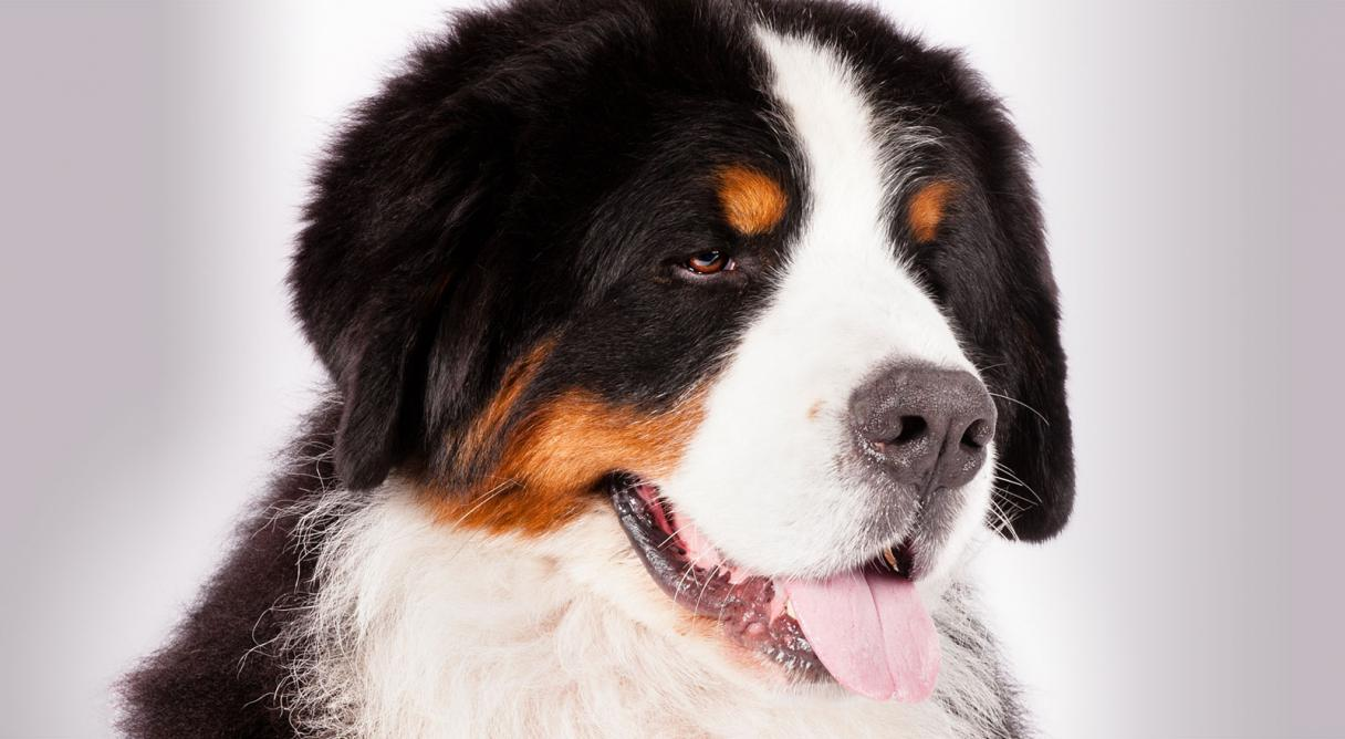 Bernese Mountain Dog clipart sheepdog Kennel American Breed Dog Mountain