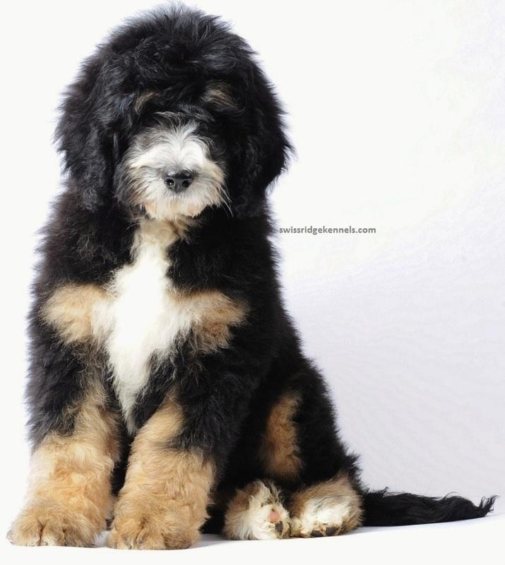 Bernese Mountain Dog clipart sheepdog Best 19 poodle about Pinterest