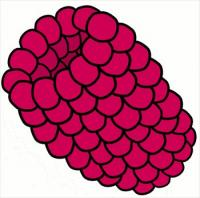 Berry clipart blackcurrant Raspberry Clipart  and Graphics