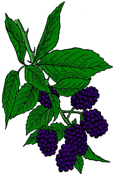 Bush clipart blackberry bush Blackberry Clip Blackberry Art Clipart