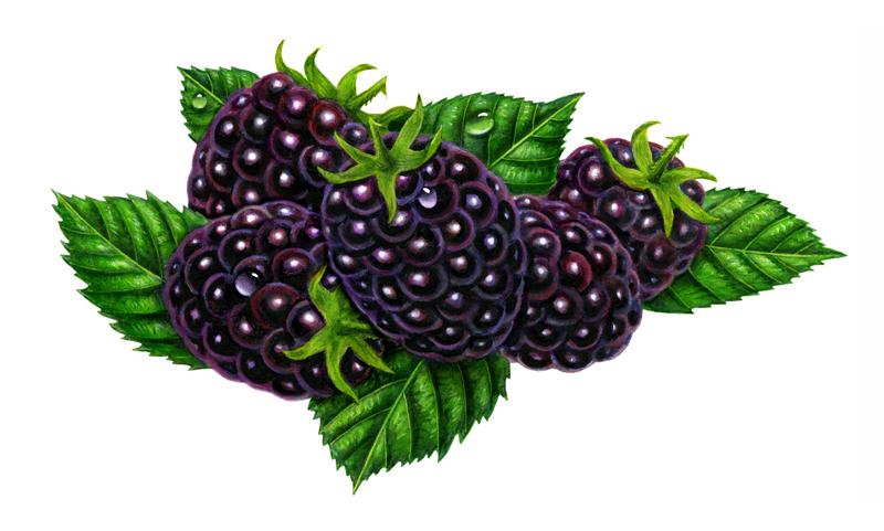 Bush clipart blackberry bush  Clipart Free Black Art