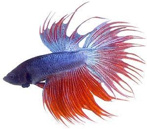 Betta clipart Savoronmorehead clipart Fish Fighting Art