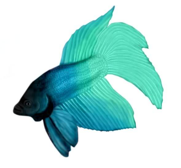 Betta clipart blue Cliparts Fish Beta Cliparts Teal