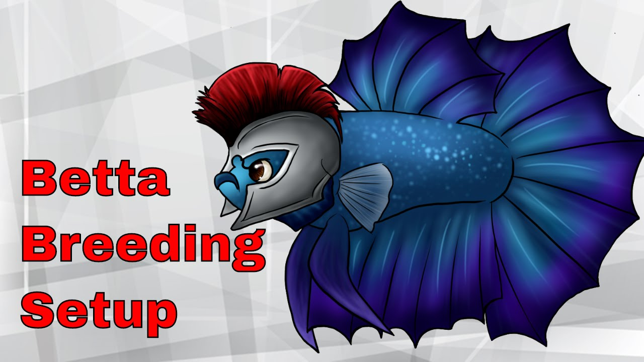 Betta clipart blue EXPLAINED EXPLAINED And BREEDING NEWEST