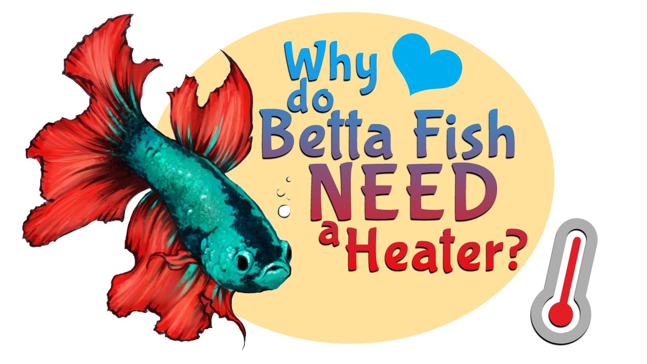 Betta clipart bowl Or for their Fish Why