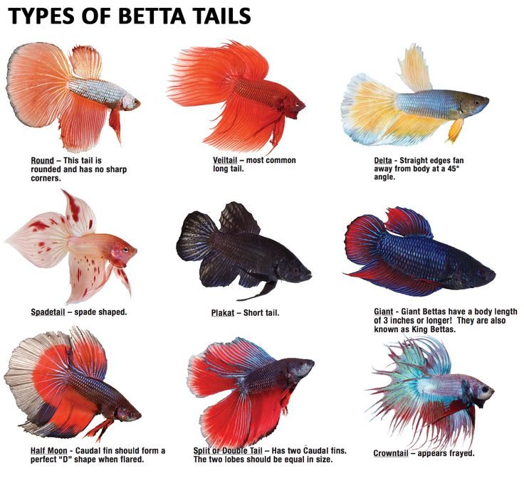Betta clipart freshwater fish 26 on images Betta have