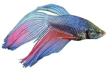 Angelfish clipart realistic fish Fighting Masked Downloads Fish Fish