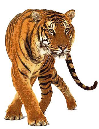 Big Cat clipart bengal tiger Tiger LG PNG 2 Pinterest