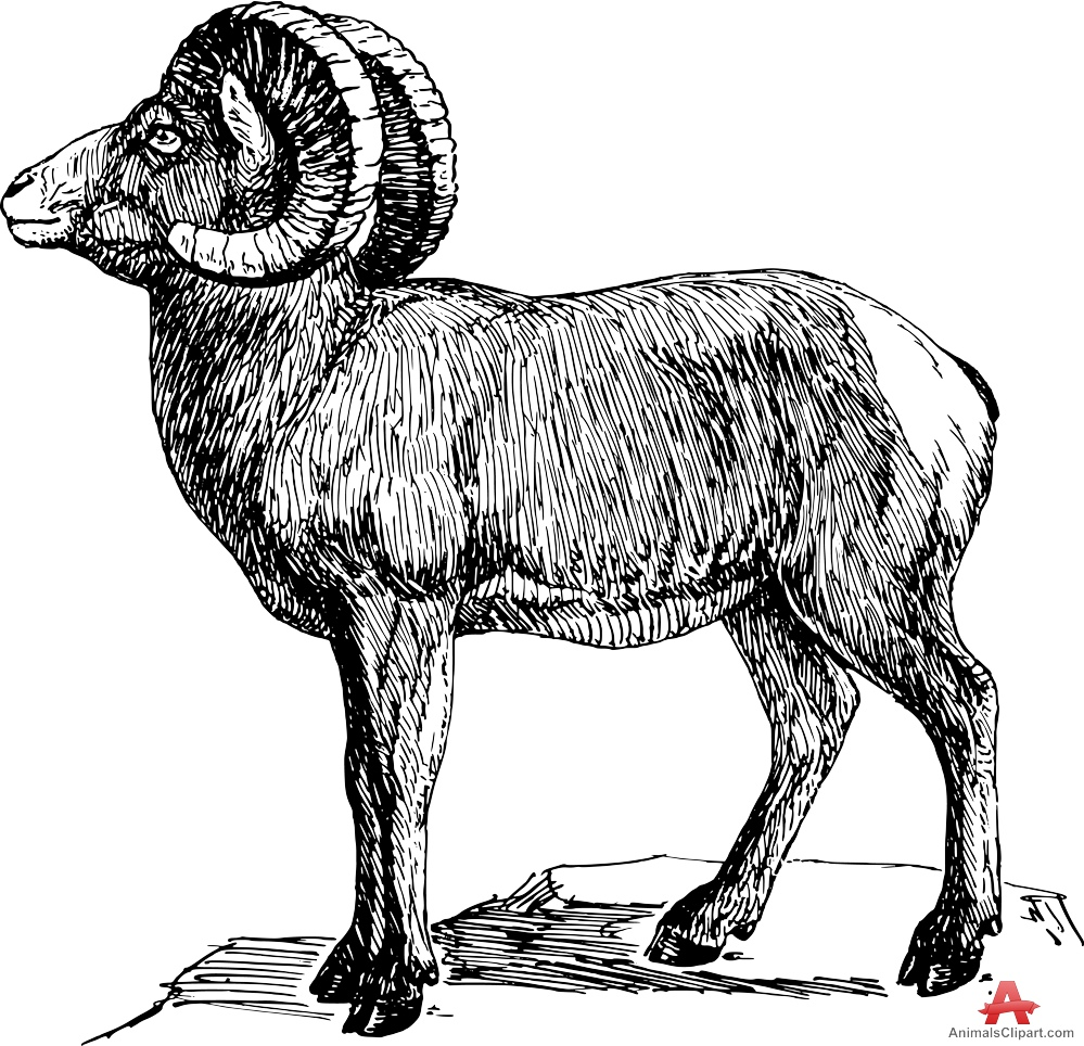 Bighorn Sheep clipart Drawing Sheep Sheep Drawing Bighorn