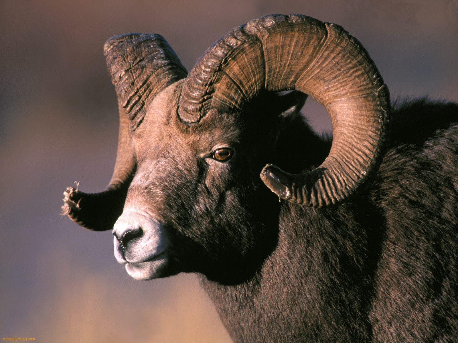 Bighorn Sheep clipart bull elk Horn Rocky Pinterest Rocky World