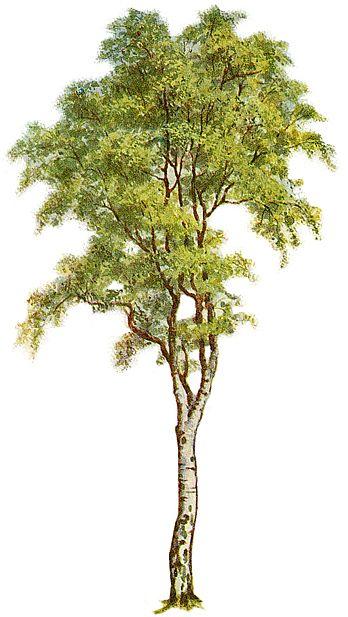 Birch clipart Ideas thank clipart best Tree