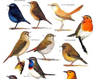 Brds clipart nightingale Nightingale Nightingale Robins Pinterest bird