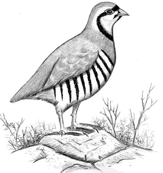 Bird clipart partridge Store Bird General Watcher's