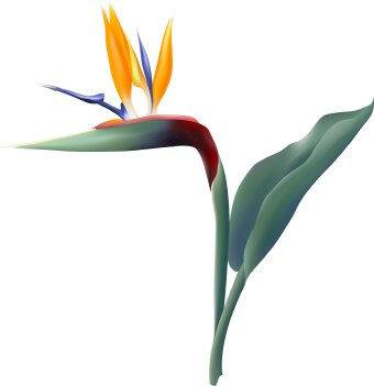 Bird Of Paradise clipart Art Paradise of Flower