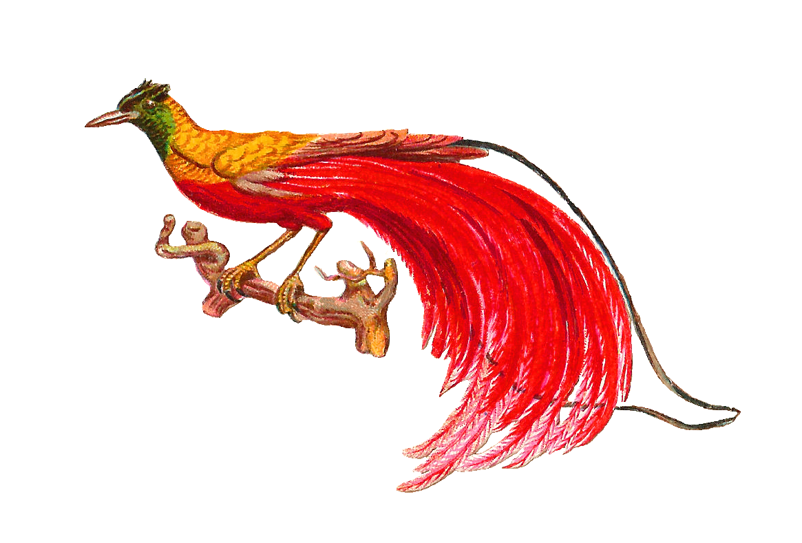 Bird Of Paradise clipart Of drawings clipart Paradise Bird