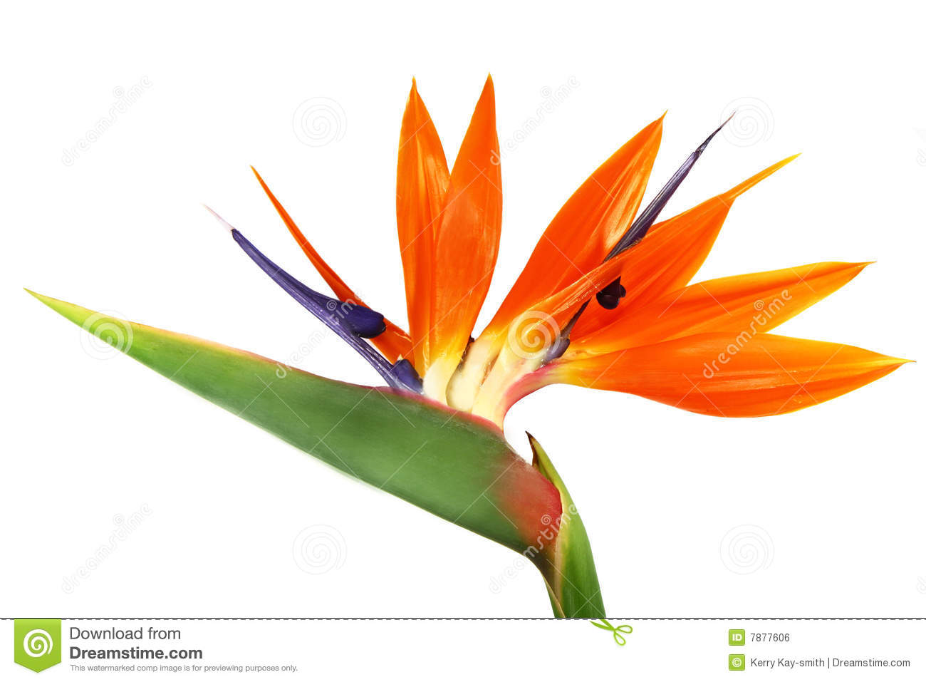 Bird Of Paradise clipart colorful bird Paradise clipart clipart clipart Download
