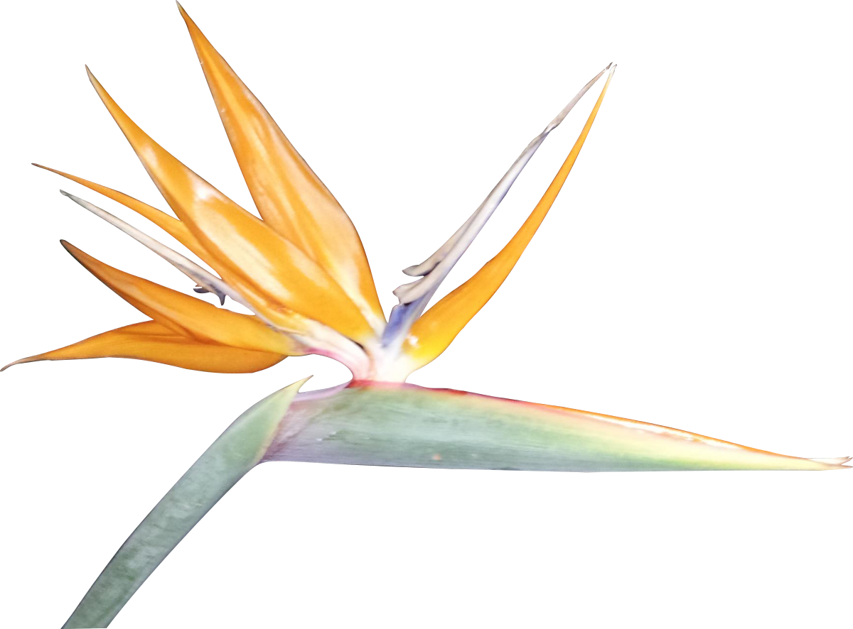 Bird Of Paradise clipart Download Clipart Clip Paradise Free