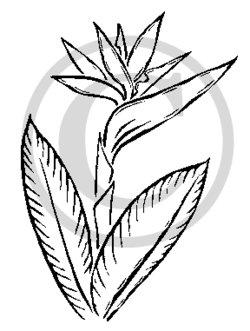 Bird Of Paradise clipart Clipart White Art Clip Tiki