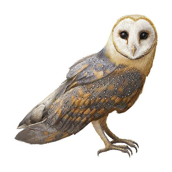 Bird Of Prey clipart barn owl Liked (Free Owl Barn on