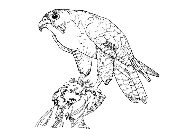 Peregrine Falcon clipart coloring Bird Of Bird coloring coloring