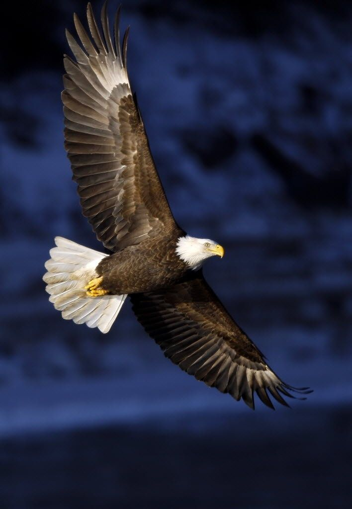 Bird Of Prey clipart vector The Majestic bald eagle in