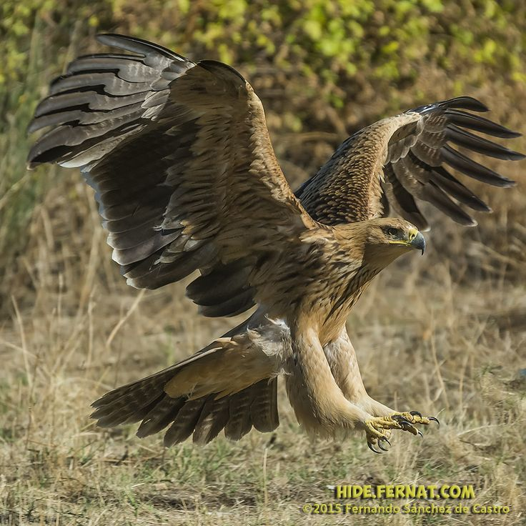 Bird Of Prey clipart spanish bird Aquila prey 40 of Pinterest