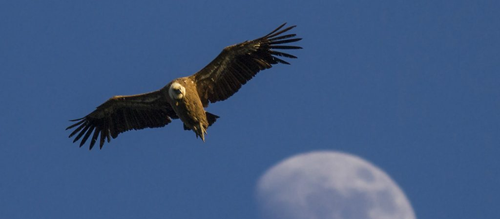 Bird Of Prey clipart spanish bird Spanish; Spain Vulture Birding Wildlife