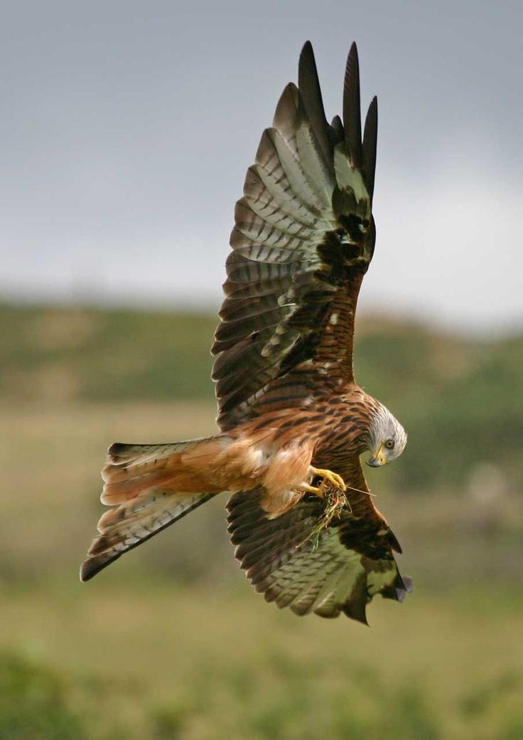Bird Of Prey clipart spanish bird On Pinterest and Thingies on